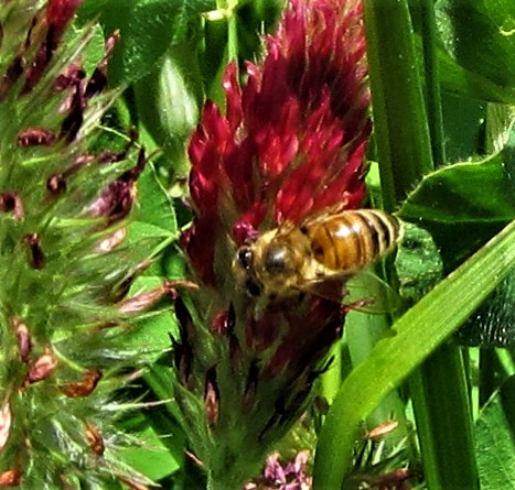 bee on red clover april 7