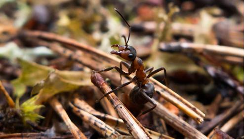 Dorm Ant